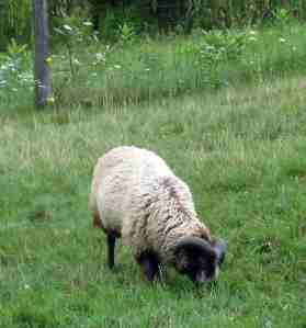 Athos - Our Shetland Ram.